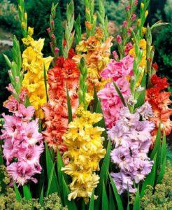 Гладіолуси — дивовижні садові квіти